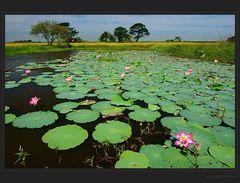 Seltene Lotusblüten