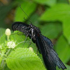 seltene Schmetterlinge 01
