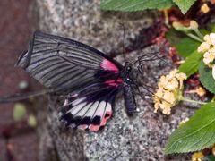 seltene Schmetterlinge 03