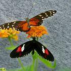 seltene Schmetterlinge 56