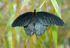 seltene Schmetterlinge 75