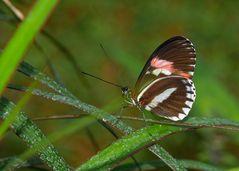 seltene Schmetterlinge 96