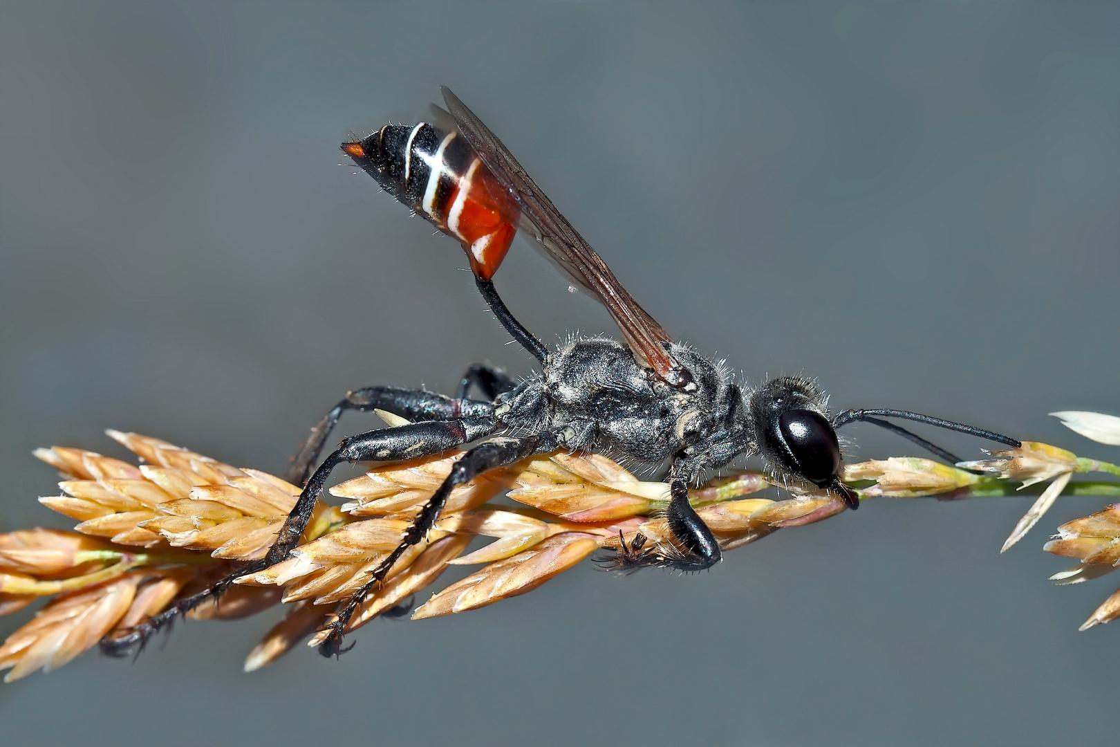 Seltene Südliche Grabwespe (Prionyx kirbii)!  - Une découverte étonnante et fascinante!
