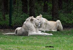 seltene weiße Löwen