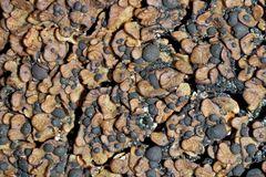 Seltener alpiner Kugelfrüchtiger Erdschorf, Psora globifera!* - Formes et couleurs étonnants!  (1)