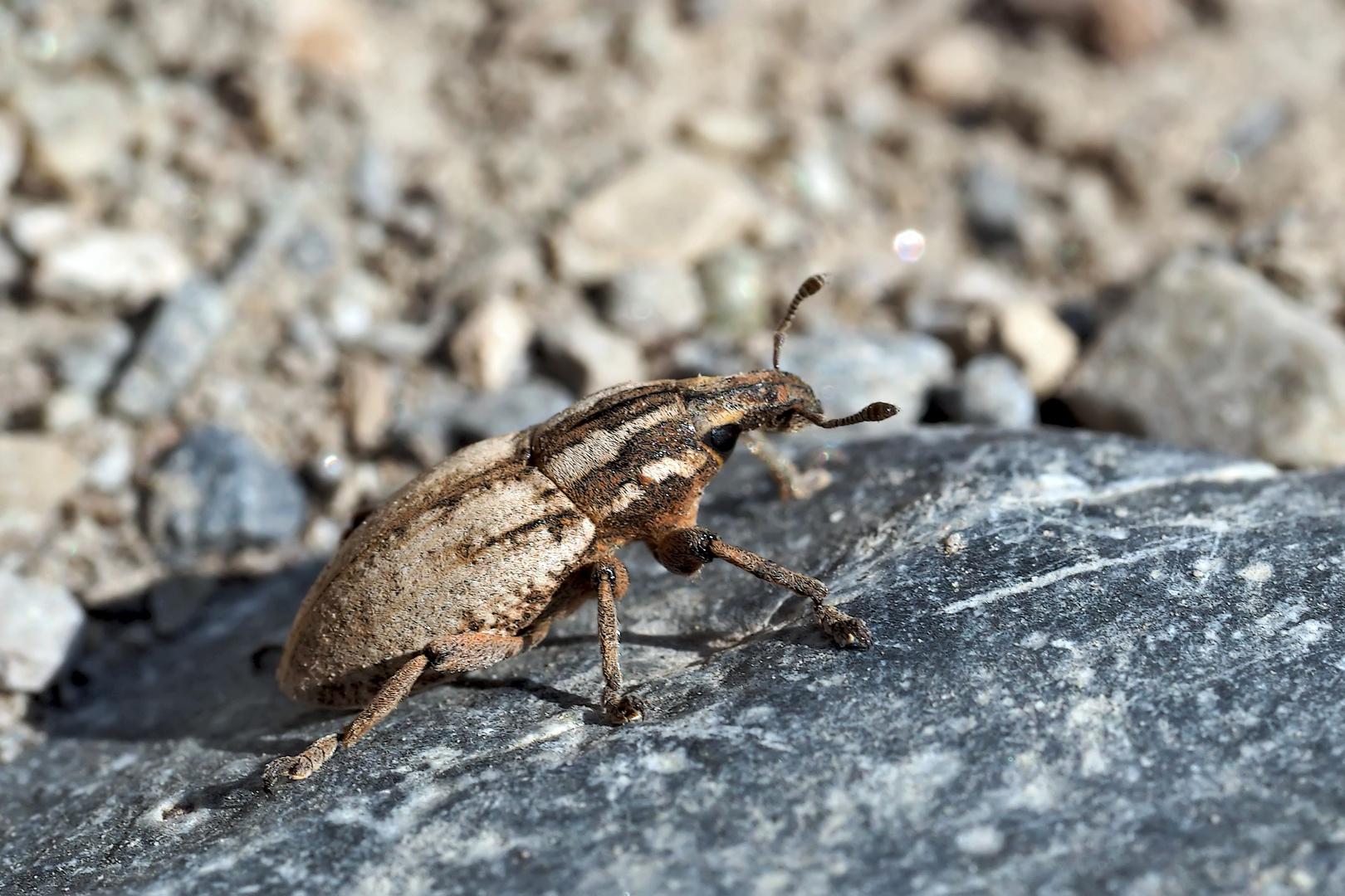 Seltener Flaumiger Rübenrüssler (Pseudocleonus cinereus). - Un charançon rare dans nos régions!