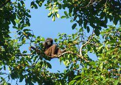 Seltener Gibbon