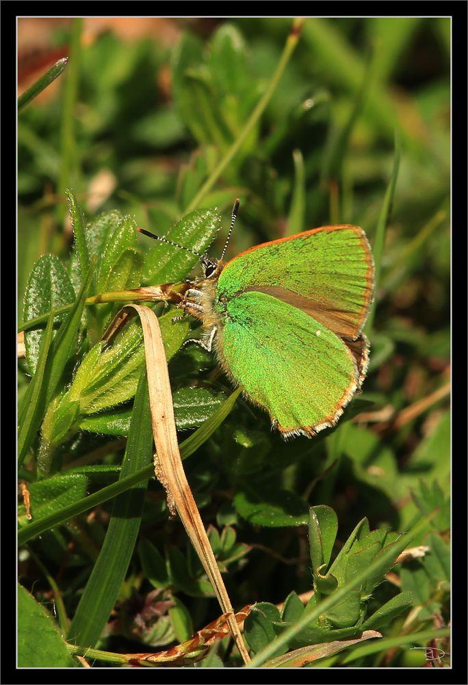seltener grüner Zipfelfalter (aus der Familie Bläuling)