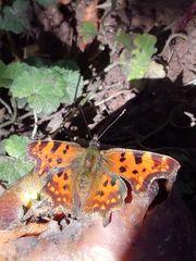 Seltener Schmetterling.