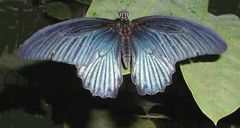 Seltener Schmetterling