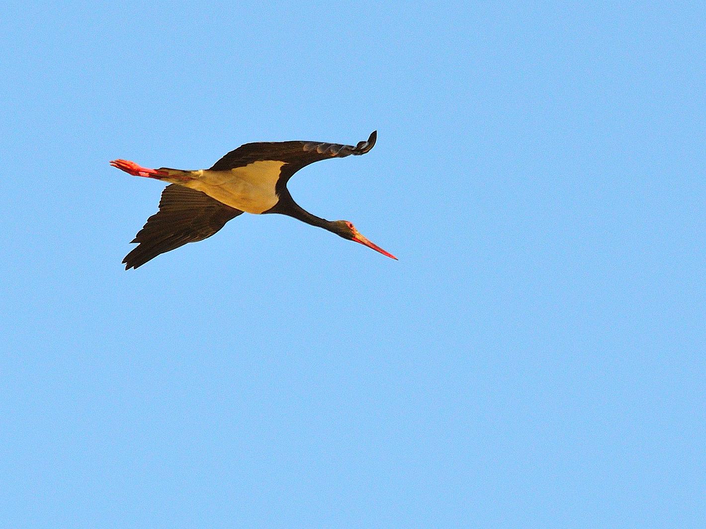Seltener Vogel, rare bird, ave rara