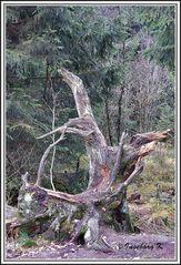 Seltsame Baumreste - entdeckt im Hohen Venn