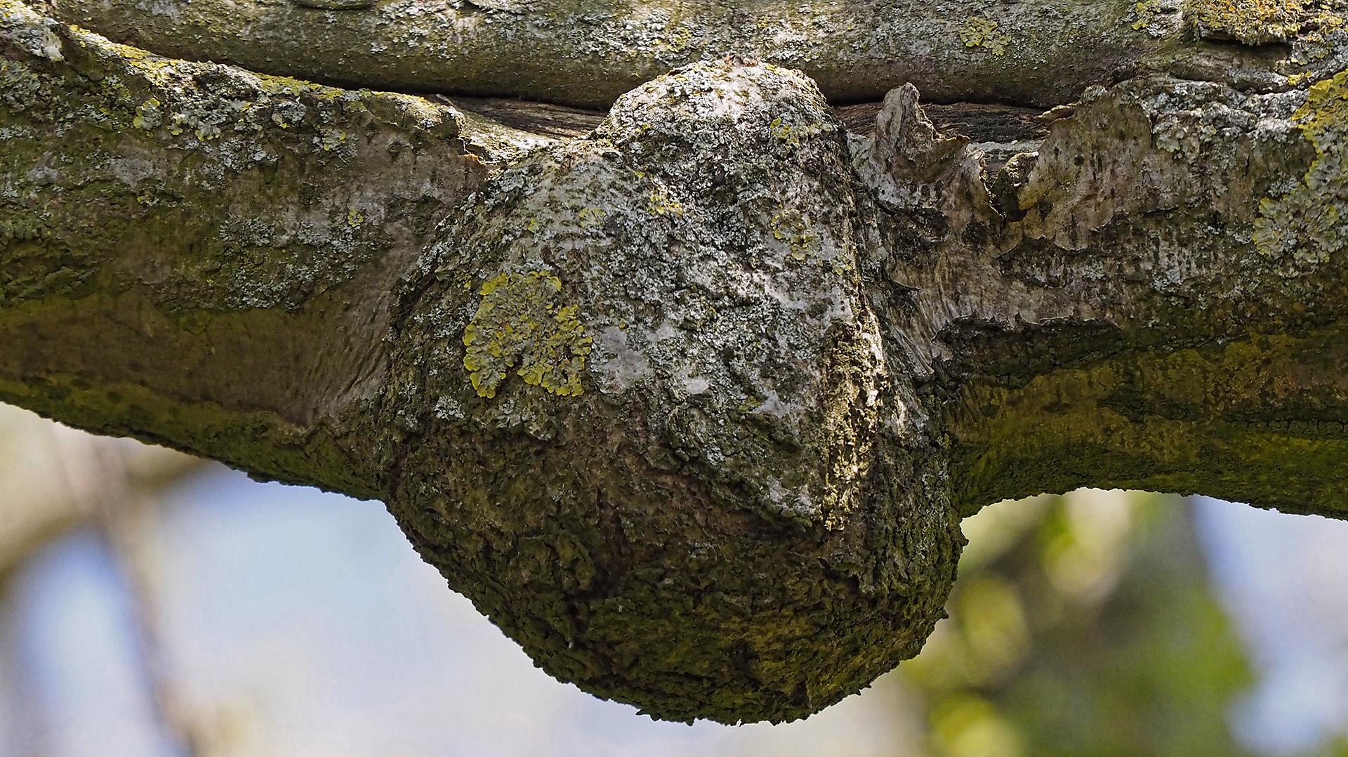 Seltsame Wucherung (Maserknolle) an einem Ast (Detail mit Flechten)