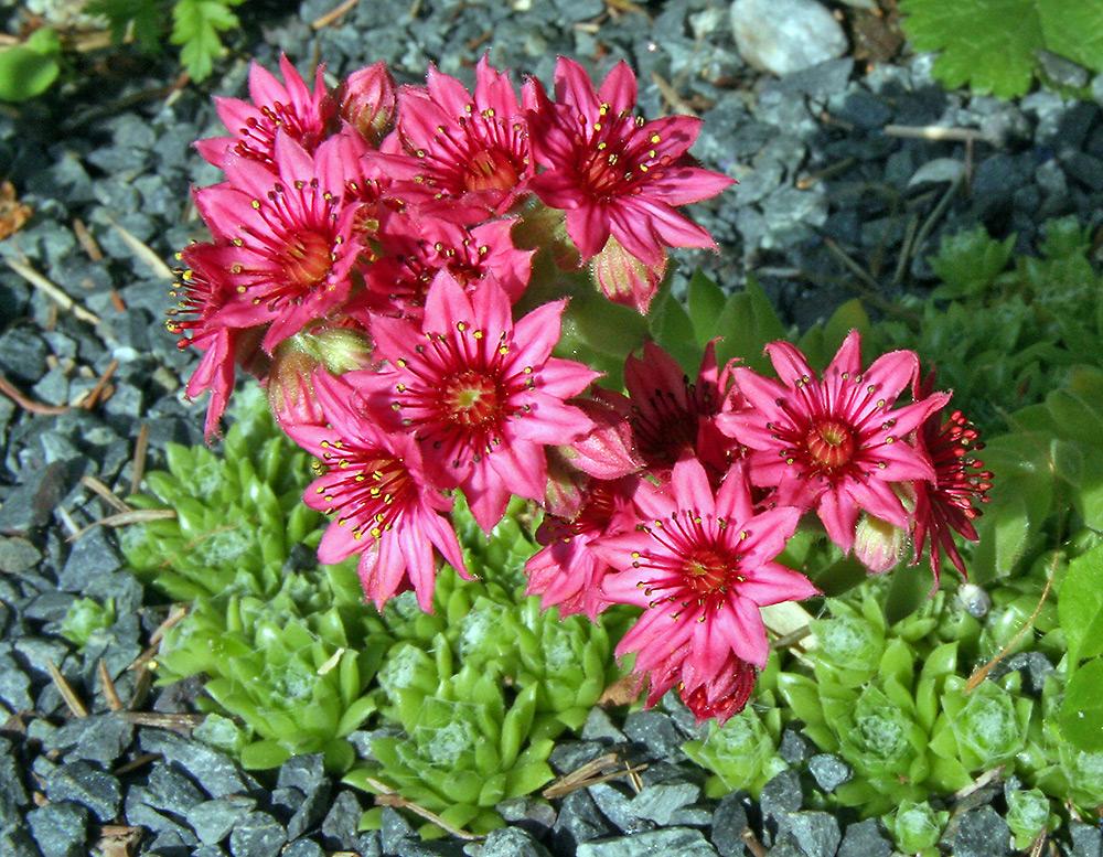 Sempervivum arachnoideum - Spinnwebige Hauswurz in voller Blüte