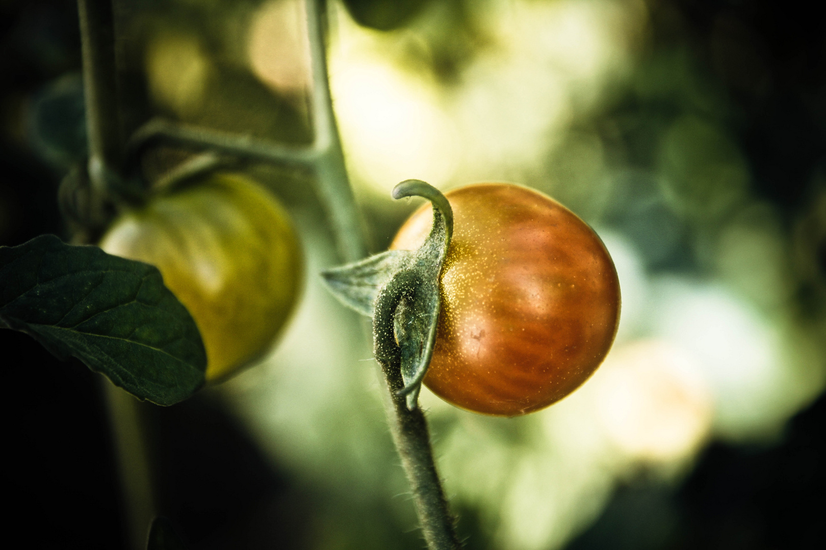 Semplicemente pomodori