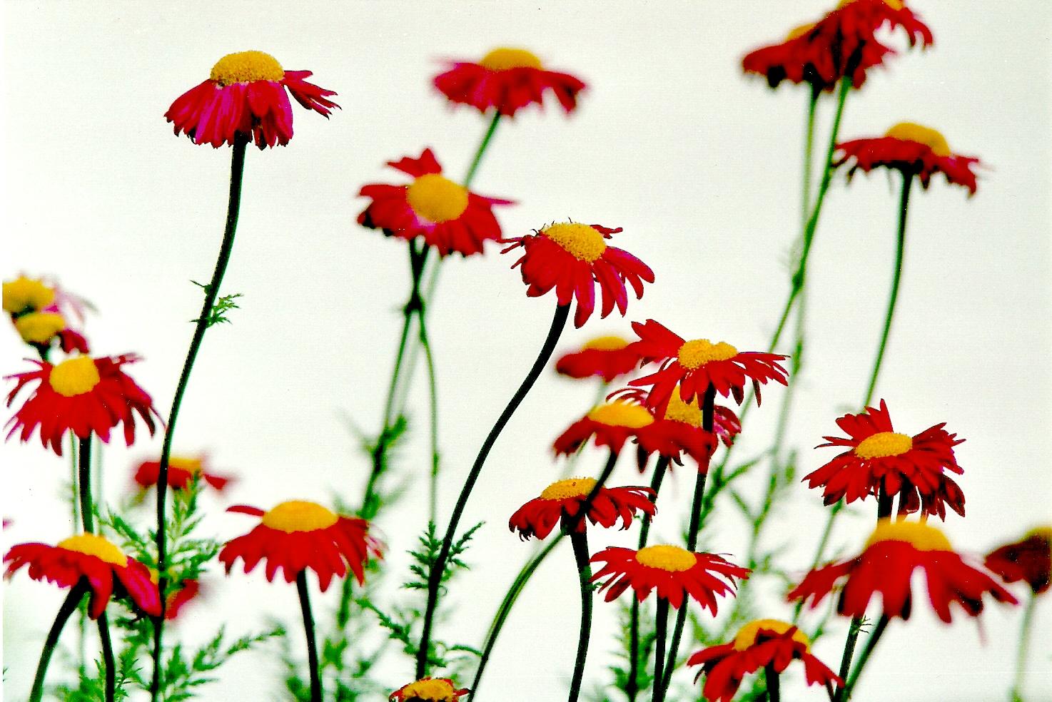 Semplici fiori