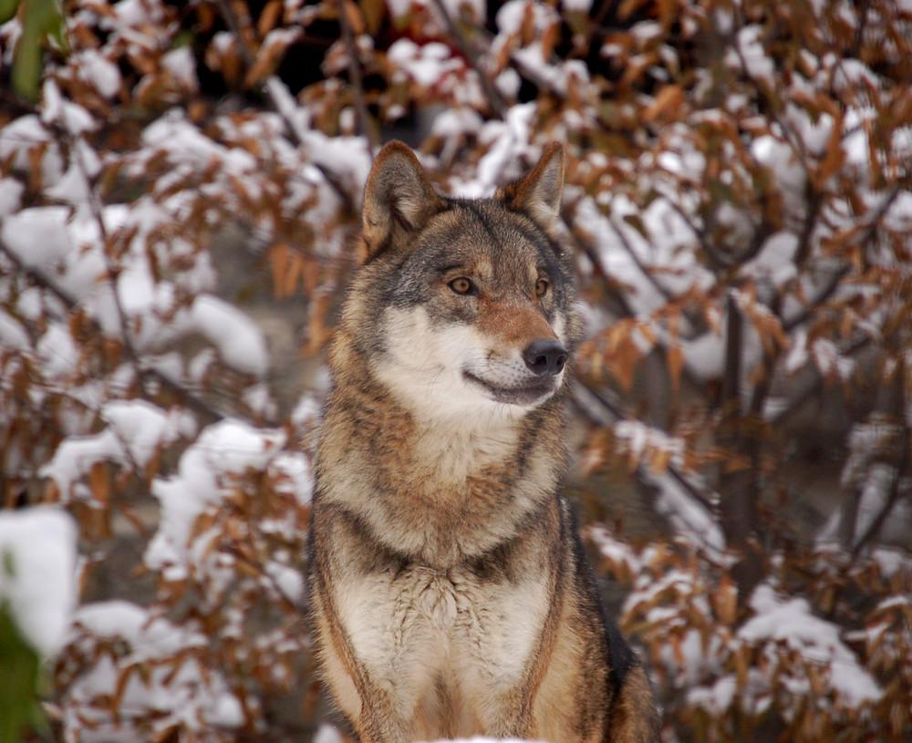 sempre il mio amico lupo