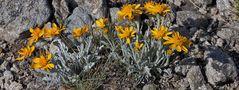 Senecio  halleri (früher s.uniflorus) - Einköpfiges Kreuzkraut ist auch in den Alpen eine Rarität...