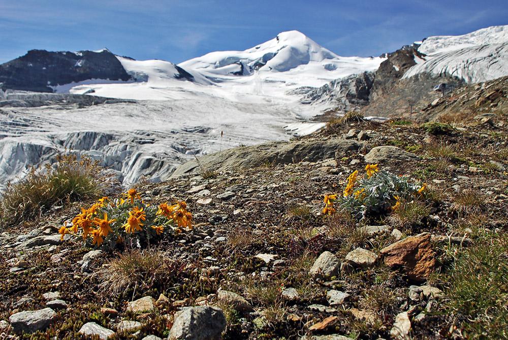 Senecio halleri (uniflorus)  die kostbare nur vom Simplon bis Zermatt vorkommende...