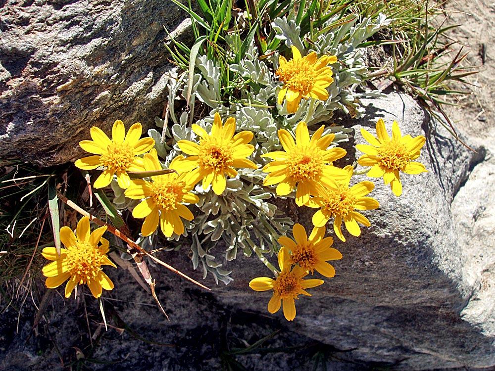Senecio uniflorus (halleri) - Einköpfiges Kreuzkraut