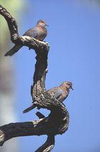 Senegaltauben in Namibia