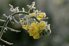Senf Blüte