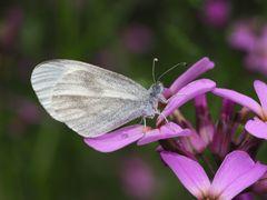 "Senf- oder Tintenfleckweißling * - Papillon du genre ""Piéride de la moutarde""."