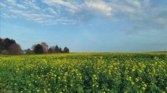 Senfblütenfeld