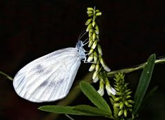 Senfweissling (Leptidea sinapis:juvernica:reali) - La Piéride du lotier.