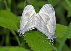 Senfweisslinge (Leptidea sinapis:juvernica:reali) - Le couple de la Piéride du lotier...
