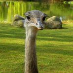 Sensation im Zoo ... Strauß mit Ohren geschlüpft !