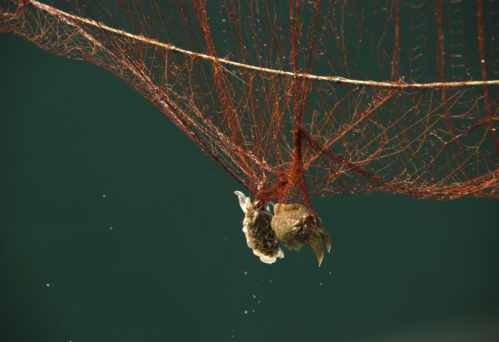 Sepia im Netz