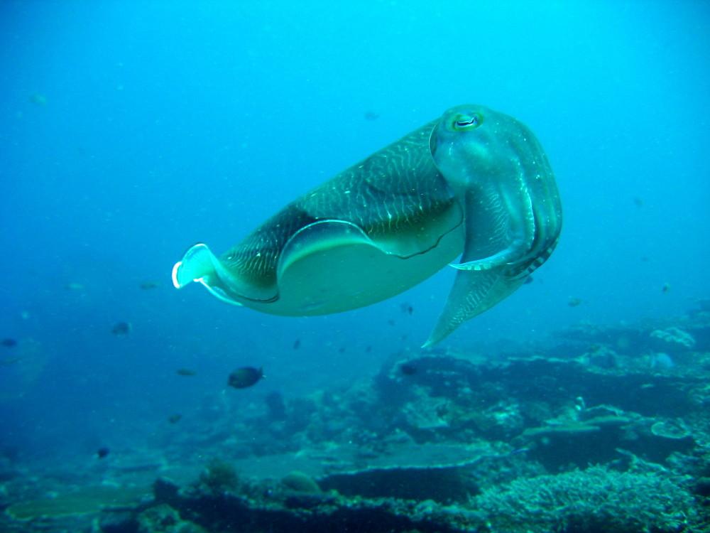 Sepia schwimmt in Pose