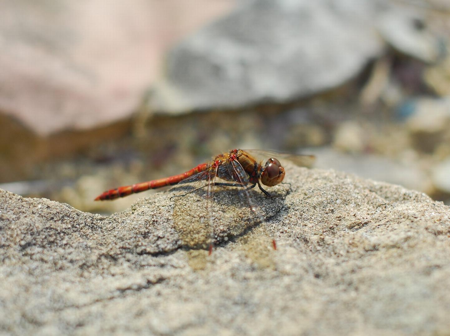 September Libelle