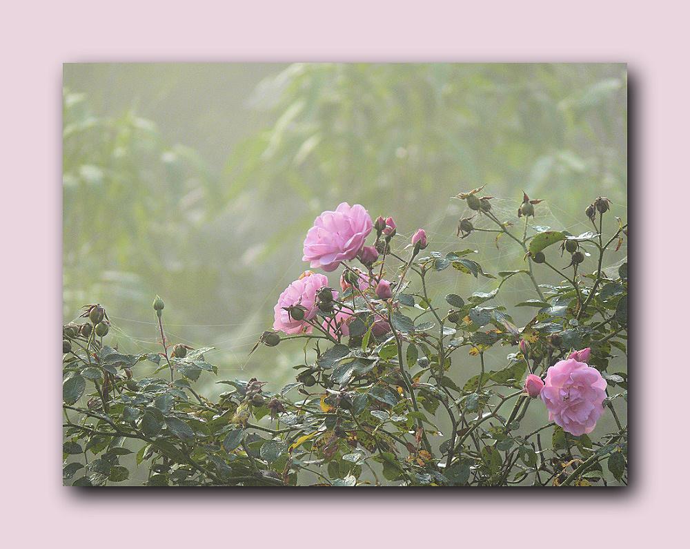 September roses in the early morning mist