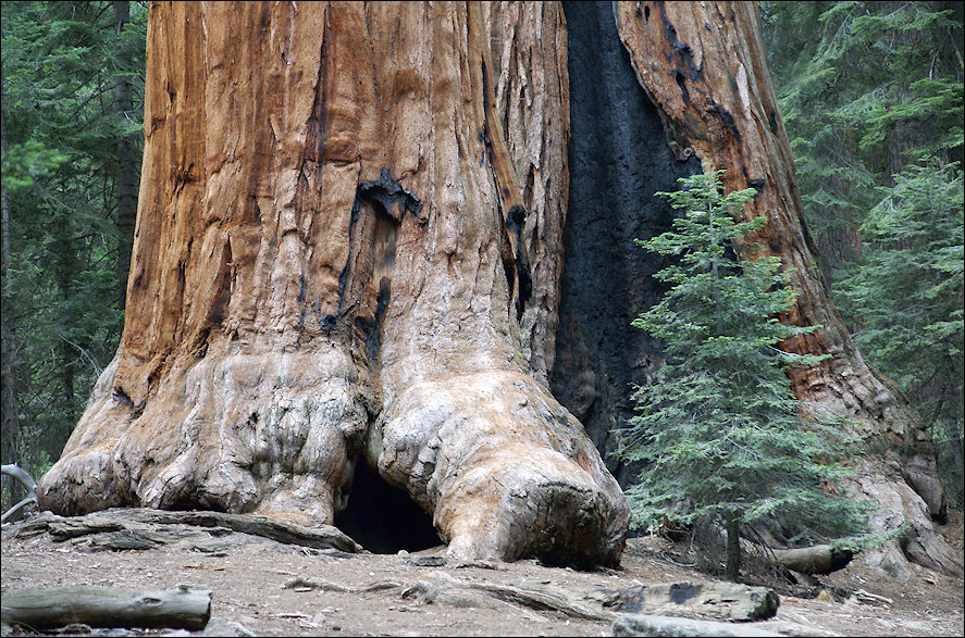 Sequoia and fir-tree