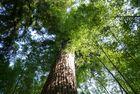 Séquoia dans une forêt de bambous géants