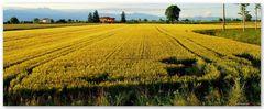 Sera sul campo di grano...