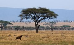 Serengeti Impressionen ~ 1 ~