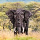 SERENGHETI Black Elephant