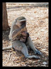 Serie Affenmutter mit Baby (1)