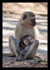Serie Affenmutter mit Baby (2)