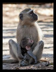 Serie Affenmutter mit Baby (3)
