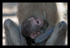 Serie Affenmutter mit Baby (4)