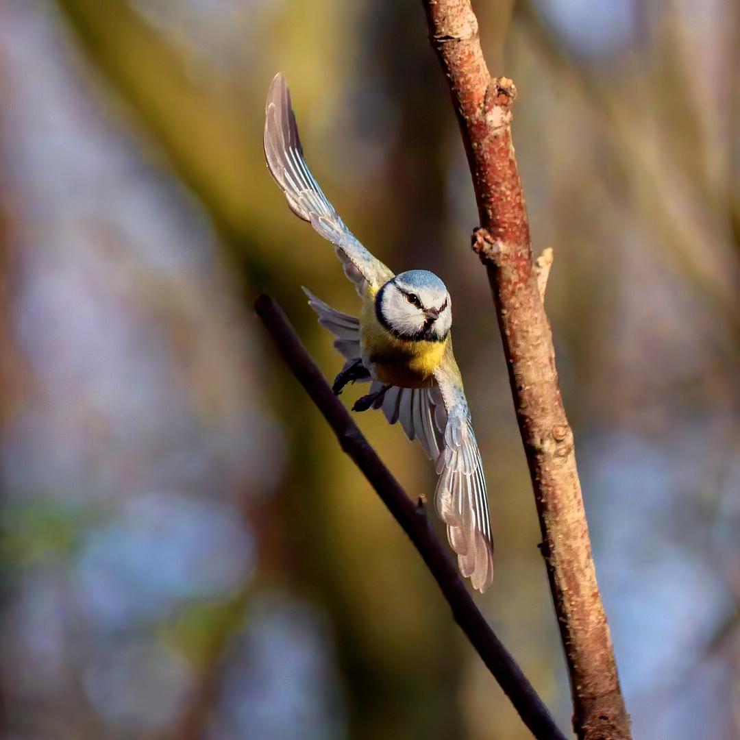 Serie: Birds in Flight (Blaumeise als Flugkünstler)