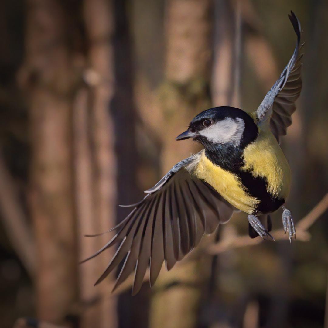 Serie: Birds in Flight (Kohlmeise als Kurvenflugmeister)