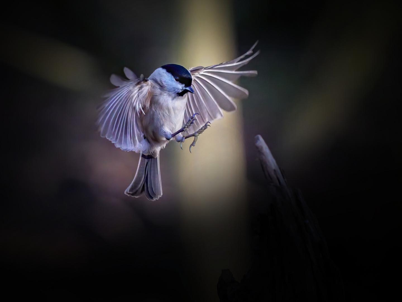 Serie: Birds in Flight (Sumpfmeise)
