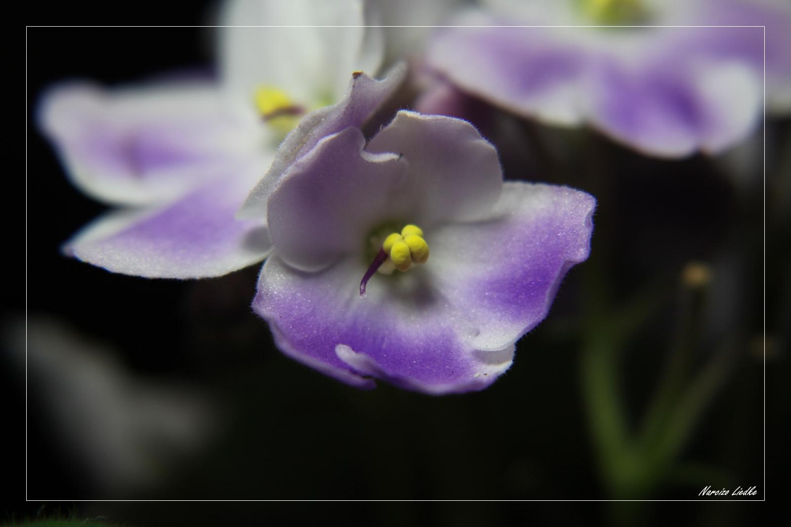Série Violetas - 04