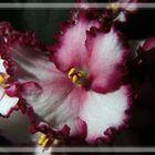 Série Violetas - 05
