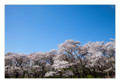 Series Sakura 1
